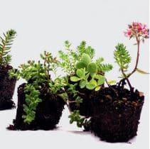 BISOFLOR Flachballenpflanzen für Gründach